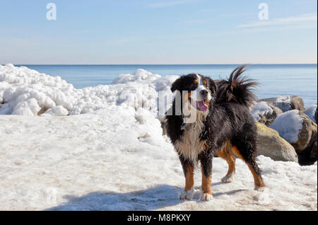 A Bernese Mountain Dog enjoys a sunny spring day with melting ice at the coast at Skodsborg after an extremely cold - Stock Image