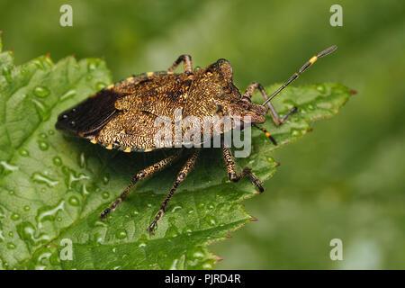 Bronze Shieldbug (Troilus luridus) resting on bramble leaf. Tipperary, Ireland - Stock Image
