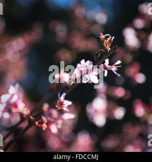 Sakura and the Bee. - Stock Image