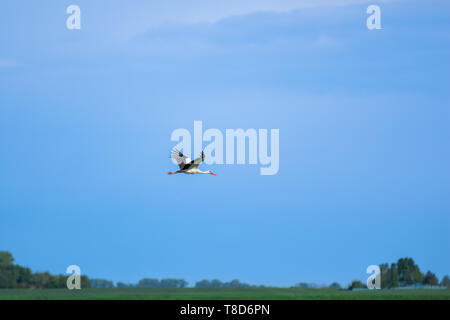 A beautiful stork flies over a field against the sky - Stock Image