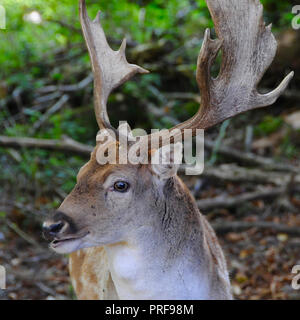 A Fallow Buck (Dama dama) in the Sussex countryside. Adult male fallow deer (bucks) are generally 84 – 94 cm at the shoulder and weigh 46 - 94kg. Females (does) are 73 - 91cm at the shoulder and weigh 35 - 56kg. This places them in size between roe and red deer. - Stock Image