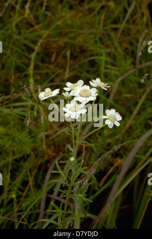 Sneezewort (Achillea ptarmica : Asteraceae), UK. Yields an essential oil that is used medicinally. - Stock Image