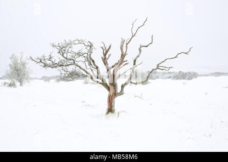 Lone tree in snow Dartmoor national park Devon Uk - Stock Image