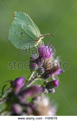 The common brimstone butterfly - Gonepteryx rhamni - Stock Image