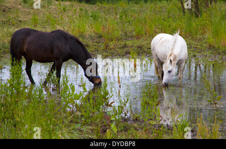 Horses in a shallow pool formed by heavy summer rain. - Stock Image