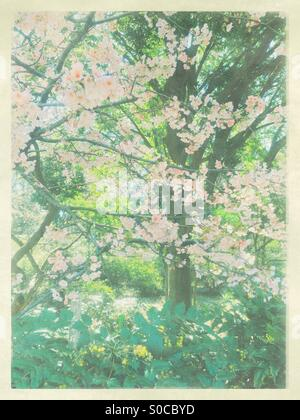 Beautiful, light pink sakura or cherry blossoms in Spring with trees and dark green leaves in background. Vintage - Stock Image