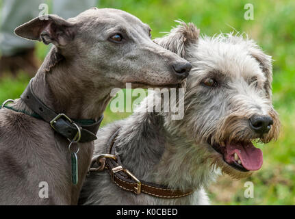 The Barlow Hunt Dog Show - Portrait of a whippet and a lucher rough coated dog - Stock Image