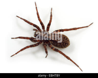 A Female Wolf spider (Alopecosa pulverulenta) on white background. Wolf spiders are part of the family Lycosidae. - Stock Image