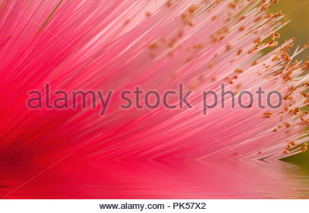 Reflection of a beautiful pink broom like flower - Stock Image