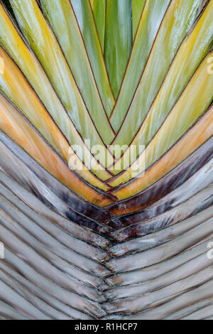 Close up of inner paddle shaped leaves of the traveller's palm tree (Ravenala) - Stock Image
