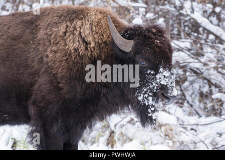 Bison in snow, Elk Island National Park, Alberta, Canada - Stock Image