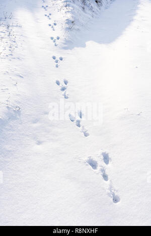 Rabbit paw prints in freshly fallen snow in Lower Austria - Stock Image