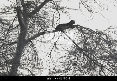 1960s, a leopard resting on a branch of a tree in the Masai Mara National Reserve, Kenya, Africa. - Stock Image