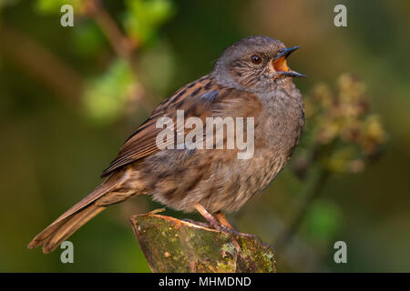 Dunnock (Prunella modularis) singing from the cut stump of a small tree - Stock Image