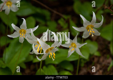 White Avalanche Lilies (Erythronium montanum) in the Cascade mountains of Oregon - Stock Image