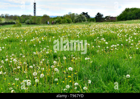 Field of grass with dandelions going to seed and yellow buttercups - Stock Image