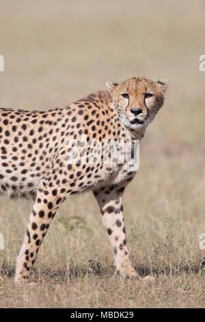 Adult male cheetah, Acinonyx jubatus, portrait staring towards the camera - Stock Image
