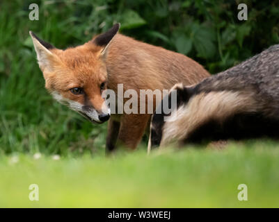 A wild Red Fox (Vulpes vulpes) &  Badger (Meles meles) foraging late evening, Warwickshire - Stock Image