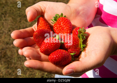 A handfull of strawberries at the sunlight. - Stock Image