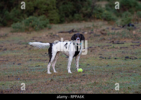 A young English Springer Spaniel looking into camera ( 11 months) waits near a dropped tennis ball waiting for it to be thrown. - Stock Image