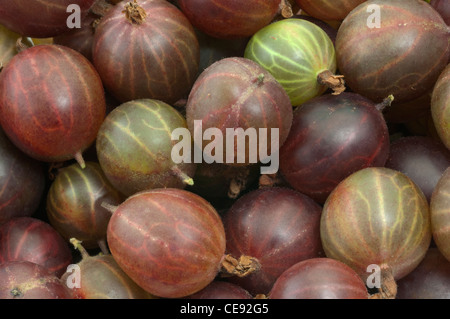 Gooseberry (Ribes uva-crispa), berries of different varieties, studio picture. - Stock Image