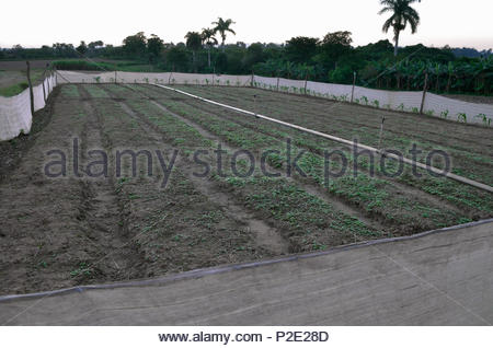 Tobacco plants germinating in compound on plantation.  While still small, plants will be transferred to nearby fields. Tobacco plants are 'transplanta - Stock Image