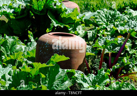 rhubarb forcers in english cottage garden, north norfolk, england - Stock Image