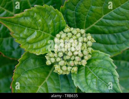 New Hydrangea flowers emerging - Stock Image