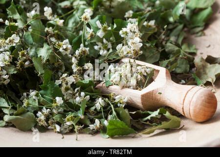 Getrocknete Weißdornblüten, Weißdorn-Blüten, Ernte, Trocknen, Weißdorn, Weissdorn, Weiß-Dorn, Weiss-Dorn. Zweigriffliger Weißdorn, Zweigriffeliger Wei - Stock Image