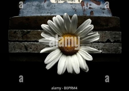 A daisy being held gently by a steel vice. - Stock Image