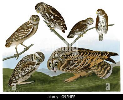 1 Burrowing Owl, Speotyto Cunicularia, 2 Short-earned Owl, Asio flammeus, 3 Northern Pygmy-Owl, Glaucidium gnoma, - Stock Image