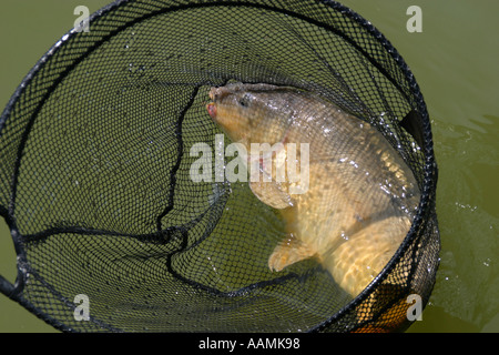 Carp caught in a landing net at a lake near Daventry England - Stock Image