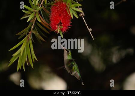 Glittering-bellied emerald (Chlorostilbon lucidus) hummingbird in flight feeds nectar from weeping bottlebrush (Melaleuca viminalis) flower, Paraguay - Stock Image