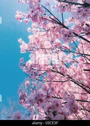 Beautiful pink sakura or cherry blossoms, one part bathed in sunlight and another part in the shadows, with blue - Stock Image
