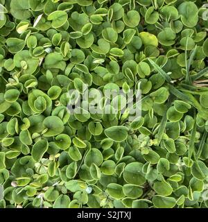 Green clovers - Stock Image