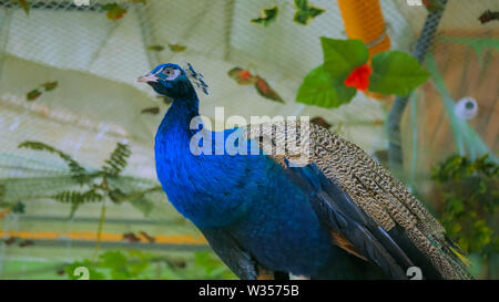 Male peacock in zoo - Stock Image
