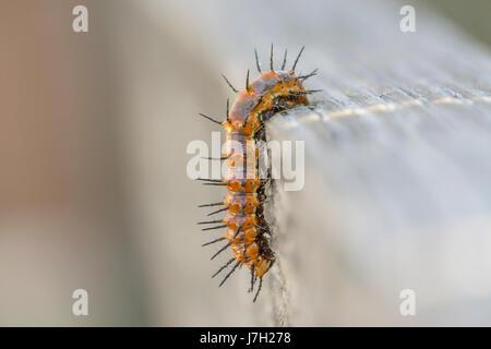 Gulf Fritillary caterpillar - Stock Image
