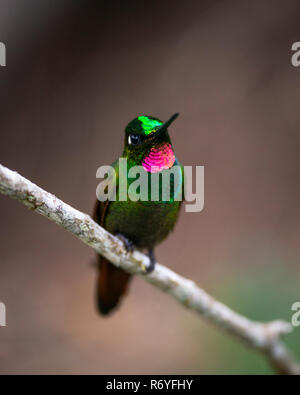 A male Brazilian Ruby (Clytolaema rubricauda) displaying its bright feathers - Stock Image
