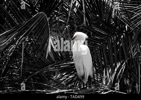Black and White image Snowy Egret color in lores and eye - Stock Image