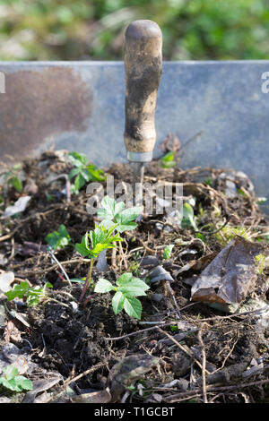 Aegopodium podagraria. Removing Ground Elder weed from the garden. - Stock Image