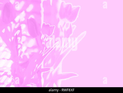 Pink background with tulips soft focus double exposure illustration floral background for Easter Mothers Day Valentines Day or spring - Stock Image