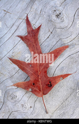 Single oak leaf rests on driftwood beneath Calvert Cliffs at Brownies Beach in Maryland - Stock Image