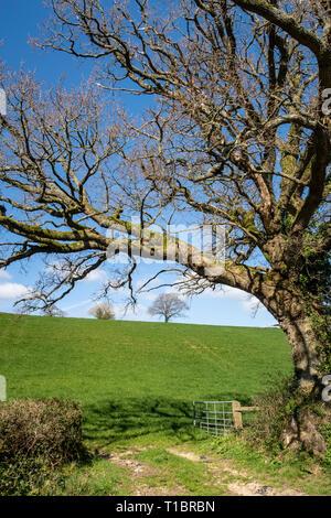 Oak tree standing over a farm gate leading to open fields near Colyton, Devon, UK - Stock Image