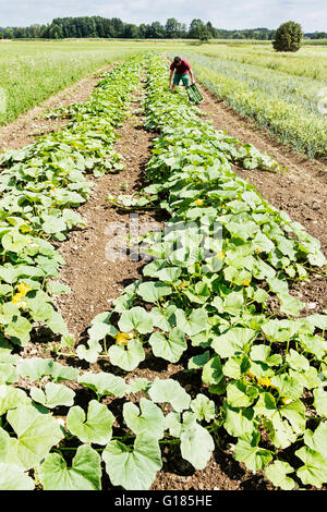 Farmer harvesting pumpkins in organic farm - Stock Image