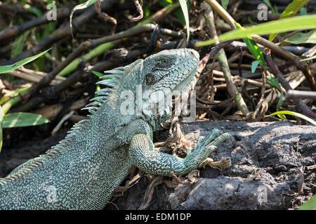 Close Up of a Green Iguana or Common Iguana, iguana iguana, Pantanal, Mato Grosso, Brazil, South America - Stock Image