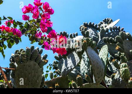 Chania Flowers, Crete, Greece, Europe - Stock Image