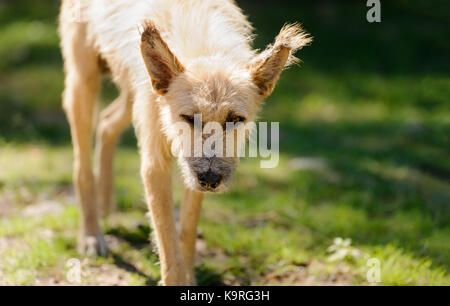 Old dog is a roughed up old scruffy dog walking along in nature giving those old man eyes. - Stock Image