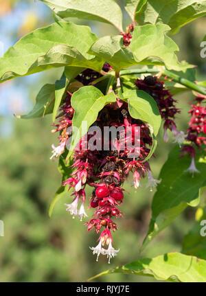 Himalayan honeysuckle bush - Stock Image