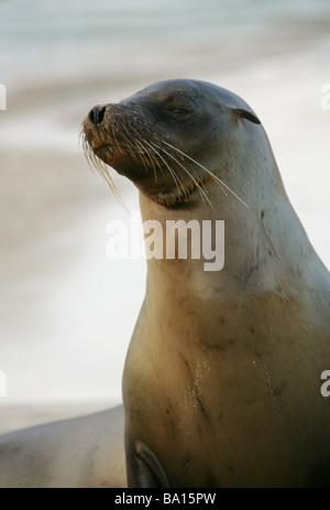 Galapagos Sea Lion, Zalophus wollebaeki californianus, Otariidae, Cerro Brujo, San Cristobal Island, Galapagos Archipelago - Stock Image