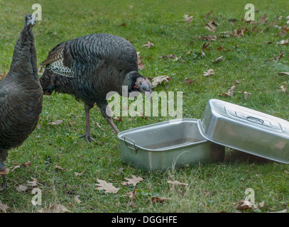 wild turkeys outdoors with empty roasting pan - Stock Image